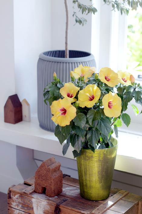 05.hibiscus.10